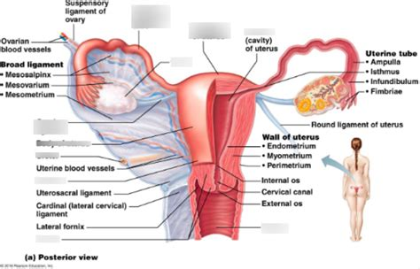 Wiring And Diagram: Diagram Of Uterus In Body