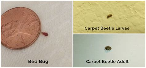 difference  bed bugs  carpet