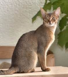 abyssinian cat follow the piper abyssinian cats