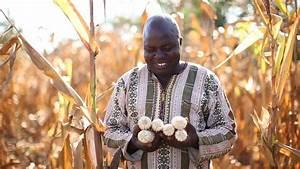 ARC approves drought-tolerant maize trait for South Africa ...