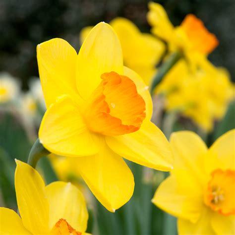 daffodil bulbs colorblends wholesale flower bulbs