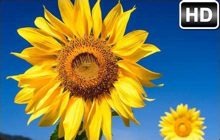 sunflowers hd wallpaper sunflower  tab hd wallpapers
