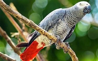 Parrot Grey African Background Congo Wallpapers13 Desktop