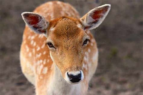 photo mammal  hoof animal ruminant fallow deer