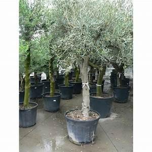 Gros Pot Pour Olivier : vente d 39 olivier gros sujet sur tronc ~ Melissatoandfro.com Idées de Décoration