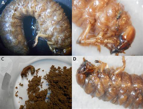 Efficacy assessment of entomopathogenic nematodes native ...