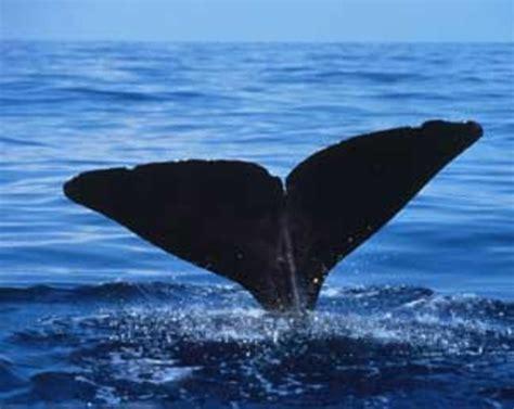 evolution proj history  whales cetacea timeline