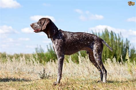 German Shorthaired Pointer Dog Breed Information, Buying