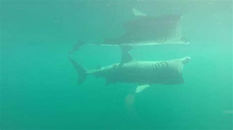 'haizivs' atklāj apdraudēto haizivju sugu slepeno ...