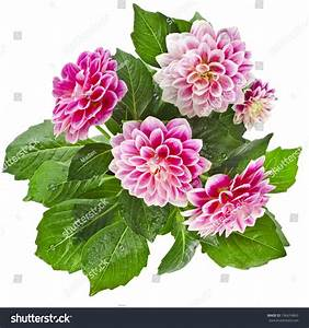 Beautiful Pink Dahlia Flowers Bouquet Isolated Stock Photo ...