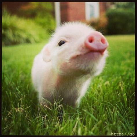 mini cerdo vietnamita minipig pig vietnam mascota