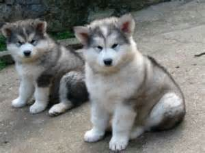 No Shed Dog Breeds Large by Dog Alaskan Malamute Articles 2puppies Com