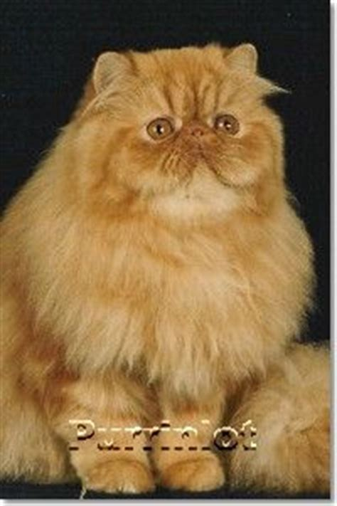1000+ Ideas About Persian Cats On Pinterest Persian