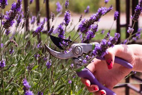 wie lavendel schneiden lavendel schneiden wann und wie zur 252 ckschneiden forex