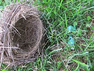 Blue Jay Barrens  Nests And Eggs