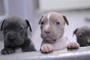 All White Pitbull Puppies | www.imgkid.com - The Image Kid ...