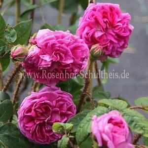 Rosen Düngen Im Frühjahr : catherine de w rttemberg rosen online kaufen im rosenhof schultheis rosen online kaufen im ~ Orissabook.com Haus und Dekorationen