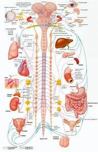 Autonomic Nervous System  Sensory  Motor  And Integrative