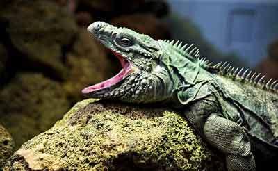 funny iguana pets cute  docile