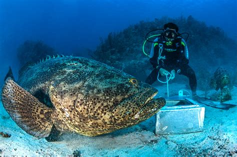grouper goliath largest much weigh atlantic perfect hook kg florida feet pounds