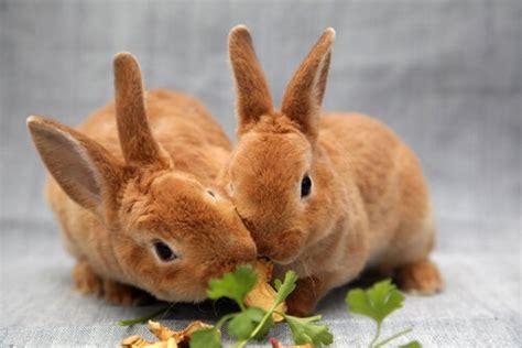 Cosa Mettere Nella Gabbia Coniglio by 191 Puede Un Conejo Comer Zanahoria Mis Animales