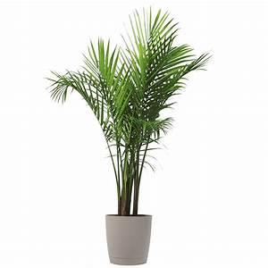 Costa, Farms, Premium, Live, Indoor, Majesty, Palm, Ravenea, Rivularis, Floor, Plant