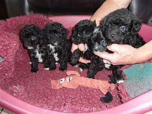Chihuahua x Poodle Puppies ( Chi-Poo / Poo-Chi ) | Great ...