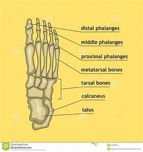 Foot Bones With Explanation  Stock Vector