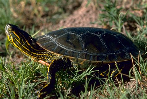 painted turtle what can box turtles eat what free engine image for user manual download