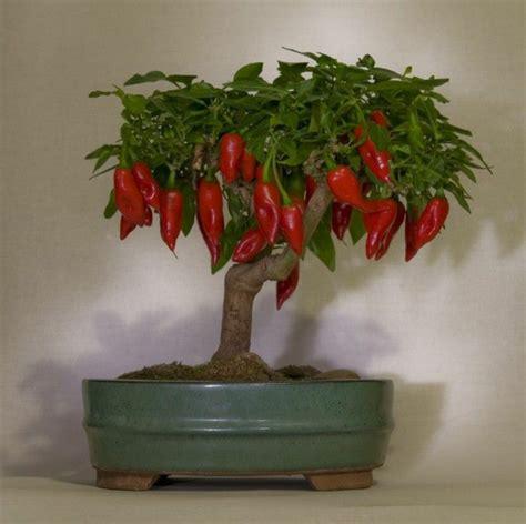 membuat bonsai cabai kabartani