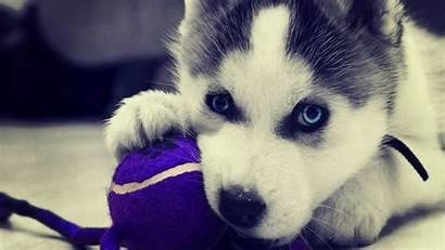 Huskies Husky Siberian Puppies 1080p March
