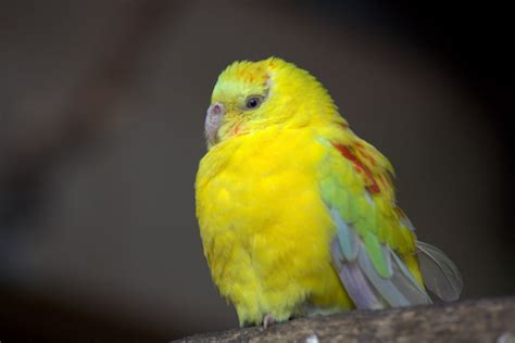 yellow parakeet yellow parakeets www imgkid com the image kid has it