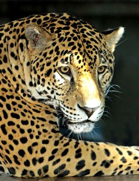 Jaguars Moving by Lebron The Jaguar Moving To Louisville Zoo