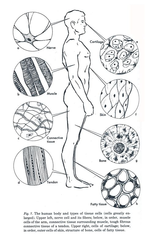 Week 3 Anatomy Diagram Of Human Tissue A Tissue Is Made Up Of A Group Of Cells That Usually