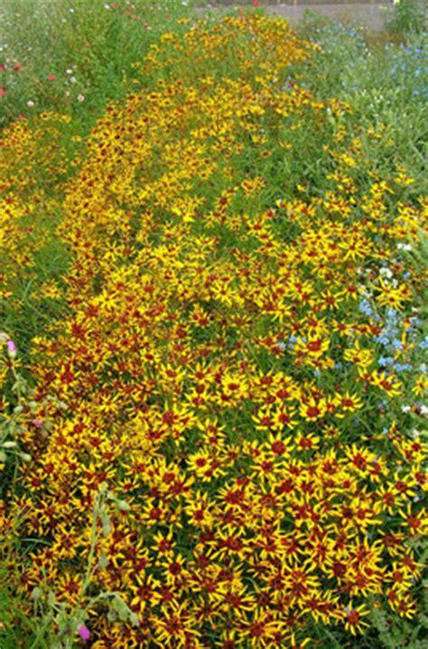 coreopsis mardi gras coreopsis tinctoria mardi gras tickseed mardi gras rhs gardening
