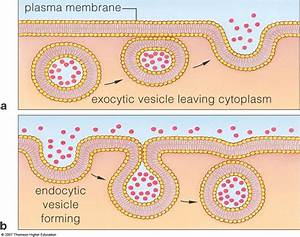 Exocytosis And Endocytosis  U2013 One Student To Another