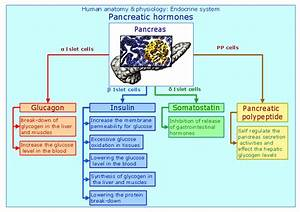 Endocrine Hormone Function Chart Conceptdraw Samples Science And Education Medicine