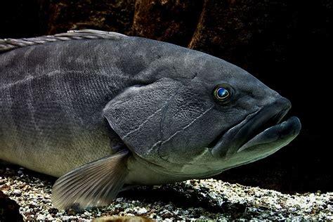 scientific spanish grouper yellowbelly english cod fish names marginatus fishes epinephelus mero