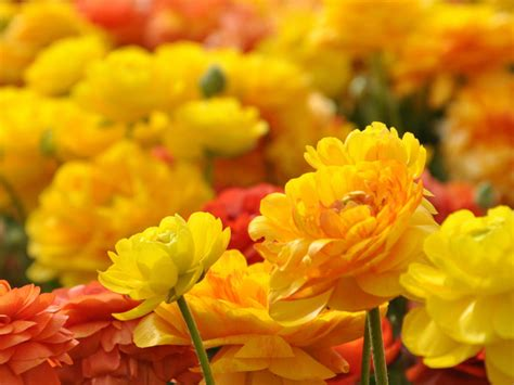 yellow red flowers  ultra hd wallpapers
