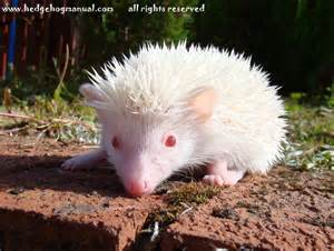 african pygmy hedgehog baby for sale ready 25 09 glasgow