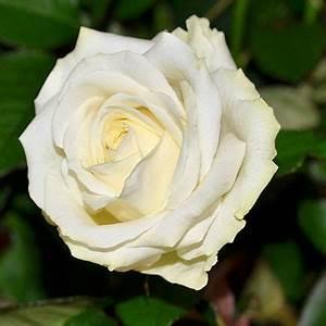 Fleur Rose Et Blanche : rose blanche avalanche fleurs pinterest fleur rose blanche fleur rose et rose ~ Dallasstarsshop.com Idées de Décoration