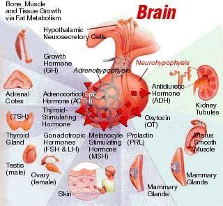 brain test italiano topic 6 6 hormones homeostasis and reproduction