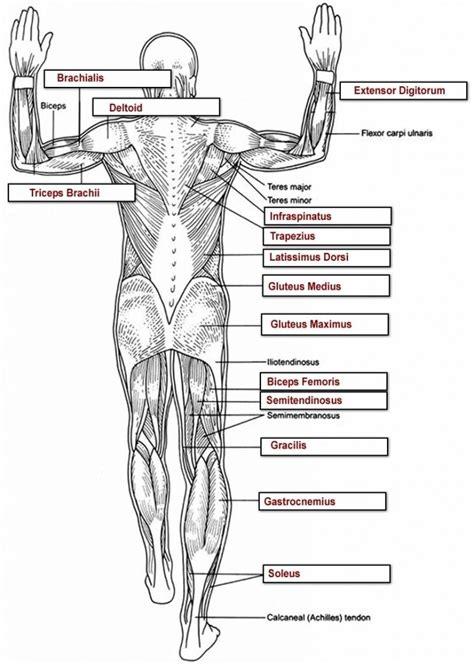 human anatomy labeling worksheets tag muscle worksheets
