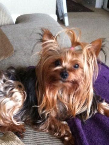 cute yorkshire terrier puppy  adoption  months