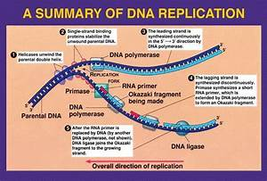 Dna Replication Resources  Diagram  Video