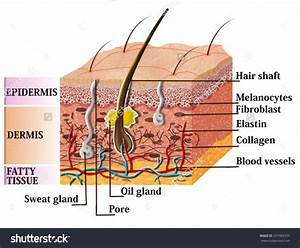 A Labeled Diagram Of The Cross Section Of The Skin