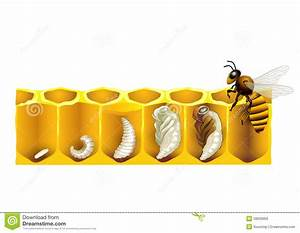 The Life Cycle Of A Honeybee Stock Vector