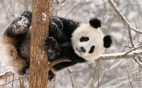 Giant Panda Wallpapers, Pictures, Images