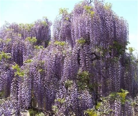 flowering trees northeast 22 best images about wisteria on pinterest gardens wisteria and my website