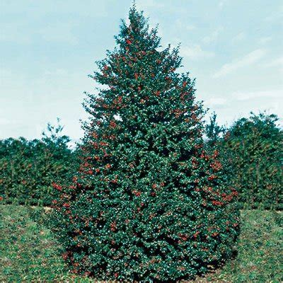 red beauty holly direct gardening